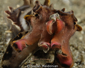 Flamboyant Cuttlefish by Suzan Meldonian 
